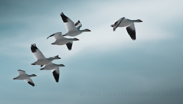 Snow Geese, Conservation Media, Jeremy R. Roberts