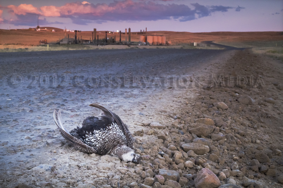 Road-Killed Sagegrouse, Conservation Media, Jeremy R. Roberts