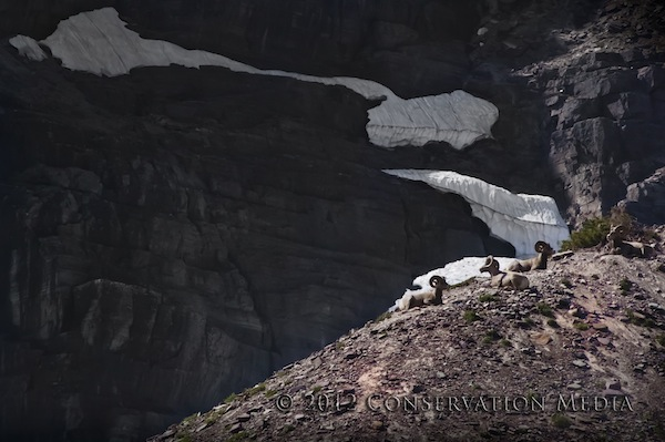 Bighorn Sheep, Glacier National Park, Conservation Media, Jeremy R. Roberts