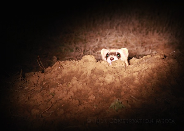 Black-footed Ferret Spotlighting, Conservation Media, Jeremy R. Roberts