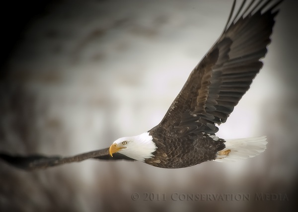 Bald Eagle, Conservation Media, Jeremy R. Roberts
