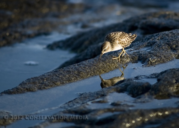 Purple Sandpiper, Rhode Island