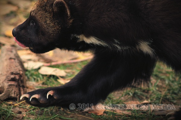 Wolverine, Gulo gulo, Conservation Media, Jeremy R. Roberts