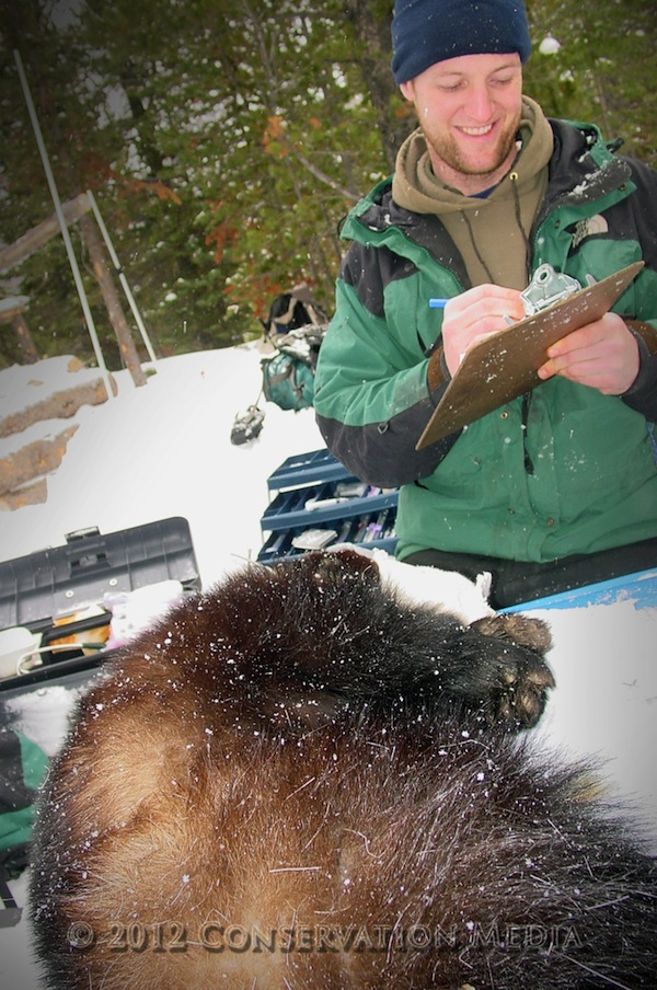Radio Collaring Wolverines, Conservation Media, Jeremy R. Roberts