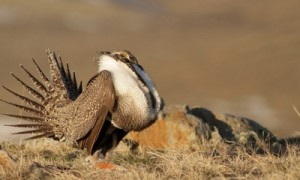 Saving Sage-Grouse: Tackling Conifer Encroachment – OREGON
