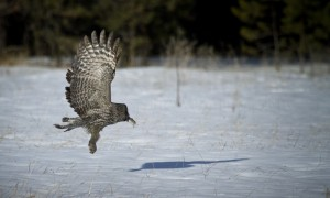 A great gray owl finds a snack beneath the snow