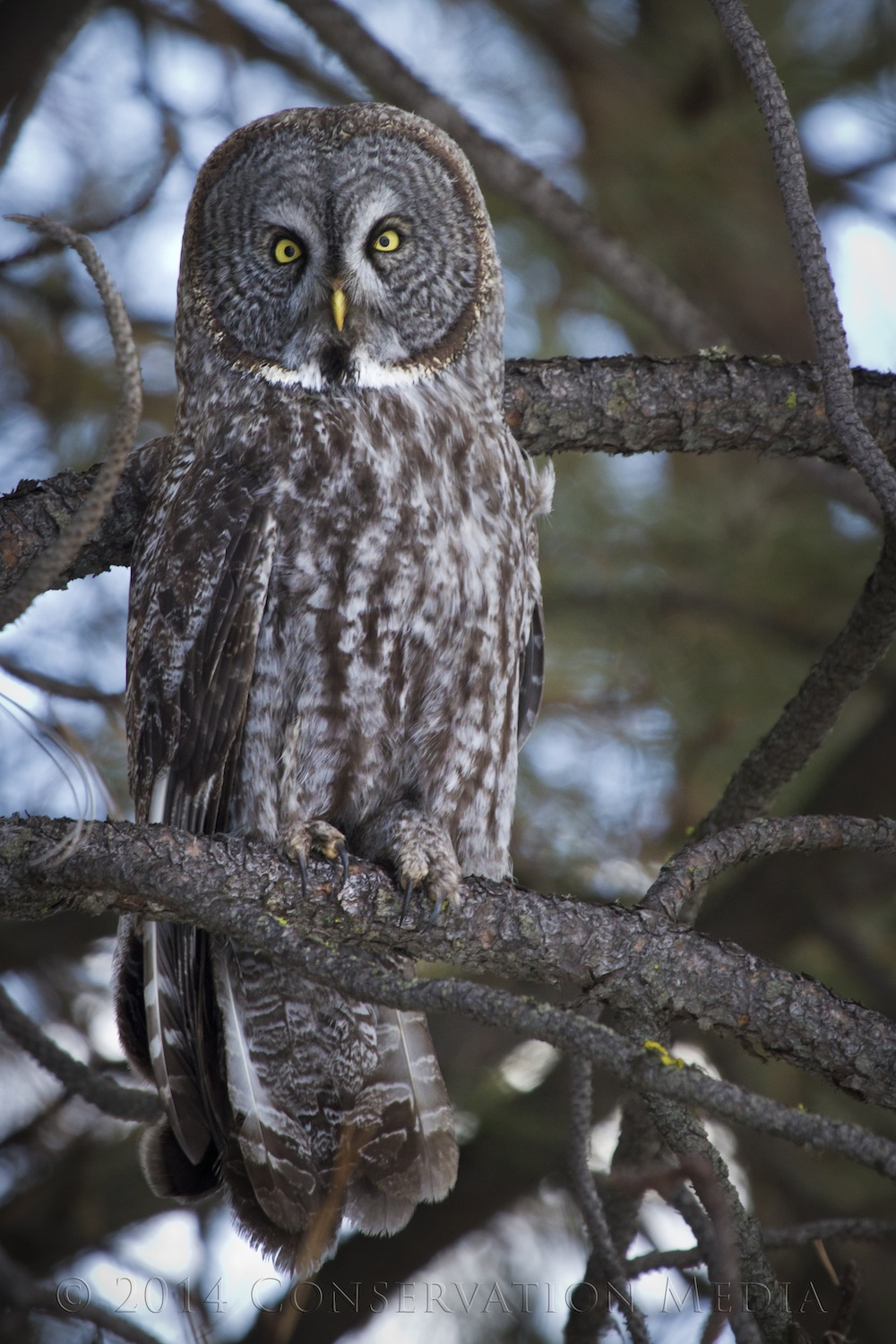 The Penetrating Eyes of the Great Gray Owl